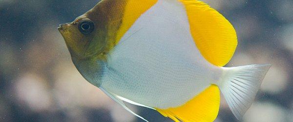 Gelber Fisch im Burgers' Zoo in Arnheim, Holland.
