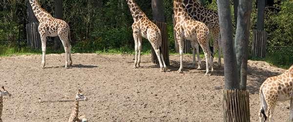 Giraffen mit Nachwuchs im Freigehege des Burgers' Zoo.