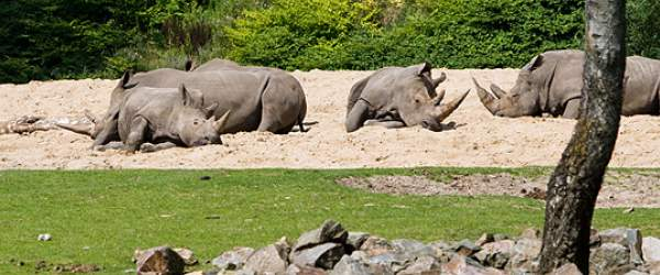 Schlafende Nashörner im Freigehege