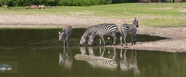 Zebras im Burgers' Zoo in Arnheim, Holland.