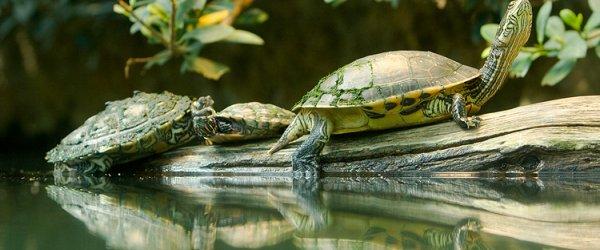 Zoologischer Garten Frankfurt - Schildkröten im Wasser